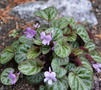 Viola grypoceras A. Gray 1857