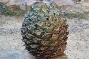 L'agave de Tequila, l'agave bleu
