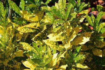 L'aucuba du Japon à feuilles panachées
