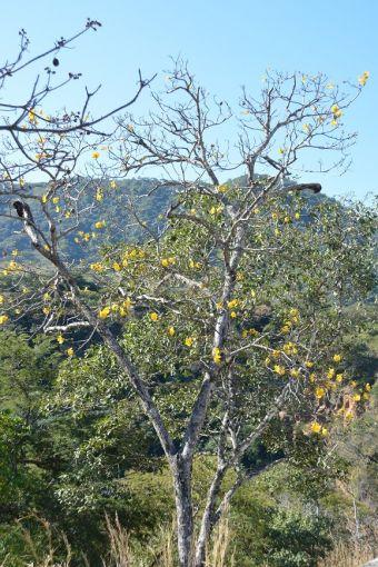 Cochlospermum vitifolium (Willd.) Spreng. 1827 (Syn. Bombax vitifolium Willd. 1809)