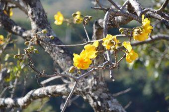 Le cochlosperme à feuilles de vigne