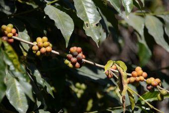 Le café arabique
