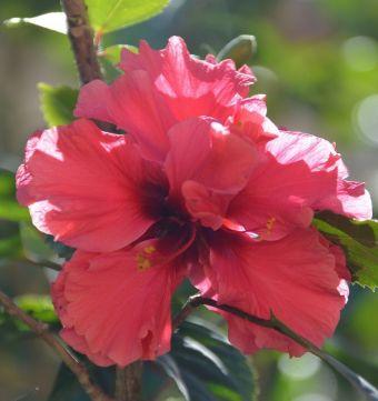 Hibiscus rosa-sinensis L. 1753