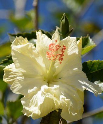 L'hibiscus rose de Chine, l'hibiscus de Chine, la rose de Chine, la rose de Cayenne