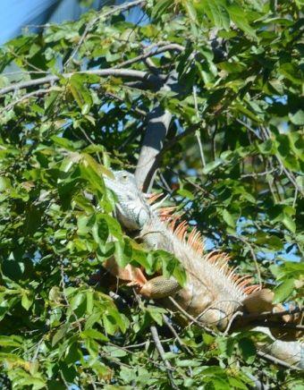 Iguana iguana L. 1758 (famille des Iguanidées)