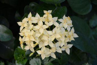 L'ixore écarlate, la flamme de la jungle, l'hortensia du Japon