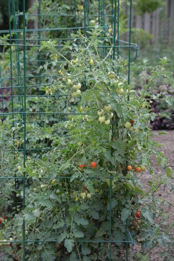 Cette tomate est conçue pour être cultivée en contenant, mais elle peut aussi être placée en pleine terre.