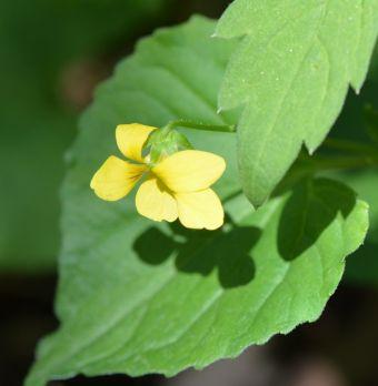 Viola pubescens Aiton 1789