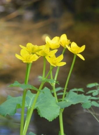 Caltha palustris L. 1753