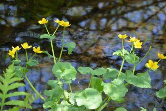 Yellow marsh marigold, American cowslip