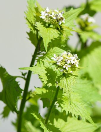 Alliaria petiolata (M. Bieb.) Cavara & Grande 1913