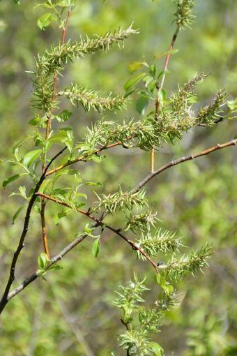 Salix discolor Muhl. 1803