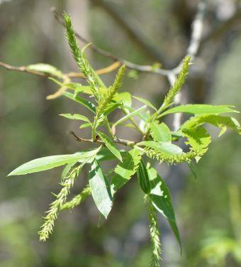 Salix fragilis L. 1753