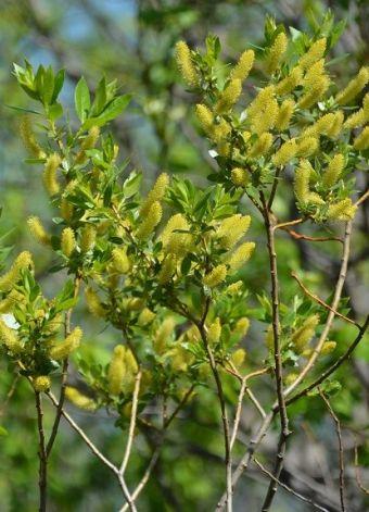 Salix lucida Muhl. 1803