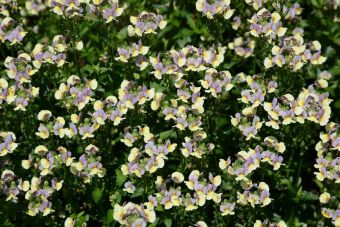 Nemesia Parfum™ Blueberry A La Mode