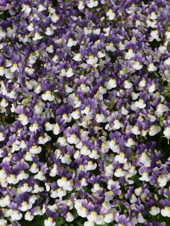 Nemesia Penhow® Little Dragons™ Azure Flame