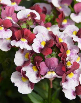 Nemesia Penhow® Cherry™ Cherry Red