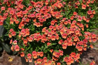 Nemesia Sunsatia® Blood Orange