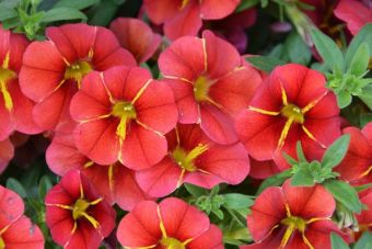 Calibrachoa RED FOX™ Aloha® Red Cartwheel
