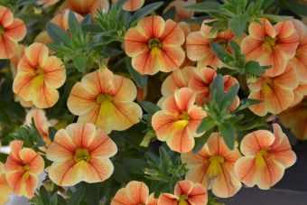 Le calibrachoa RED FOX ™ Volcano Sunset (Dümmen)