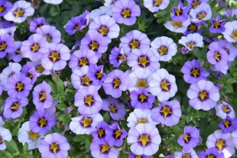 Le calibrachoa Superbells® Evening Star 'USCAL42202' (Proven Winners)