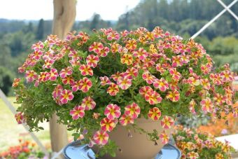 Le calibrachoa Superbells® Holly Moly! 'USCALDHSTM' (Proven Winners)