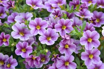 Le calibrachoa Noa® Violet Glint (Danziger)