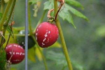 Les fruits deviennent rougeâtres à maturité.