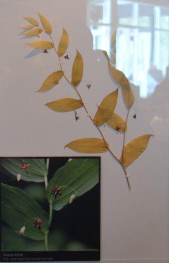 spécimens d'herbier de Marie-Andrée