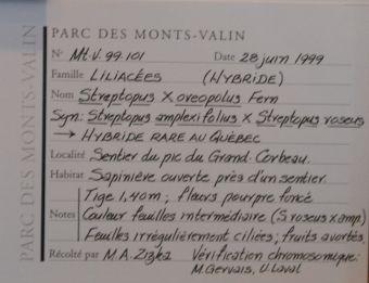 streptope des montagnes, collecté le 28 juin 1999