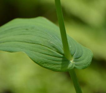 Les feuilles du streptope blanc sont alternes, largement lancéolées et sont embrassantes