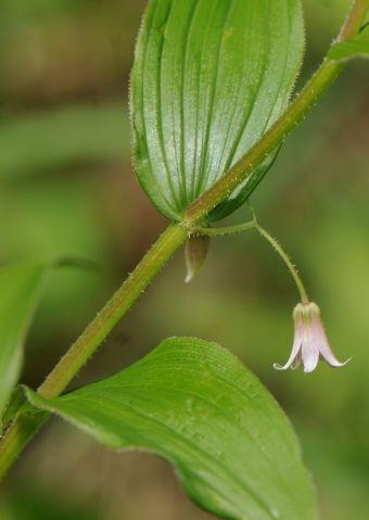 Des poils fins poussent sur la bordure des feuilles et des pédicelles.