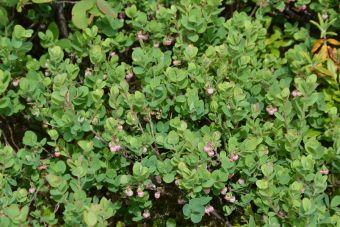 Les baies produites après la floraison deviennent bleu noirâtre en mûrissant.