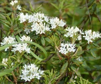 Rhododendron groenlandicum
