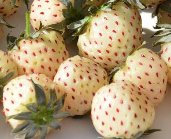 Photo des fraises Natural Albino® prise au California Spring Trials 2015, chez Pacific Plug & Liners