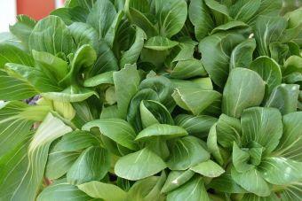 Brassica rapa groupe Chinensis Pak Choi 'Green Fortune' F1 comme bébé verdure.