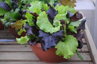 Bébés verdures de salade : le programme Simply Salad de Ball.