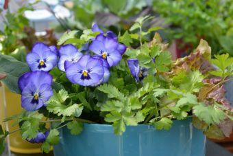 On peut même incorporer une petite pensée à nos pousses. Ses fleurs sont comestibles.