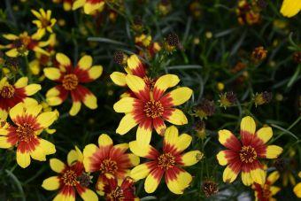 Le coréopsis 'Firefly'