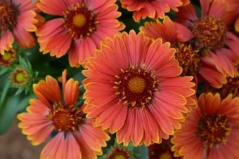 La gaillarde 'SpinTop Yellow Touch'