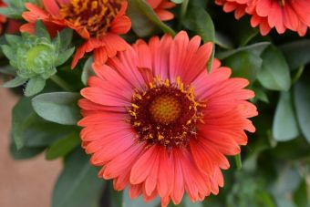 La gaillarde 'SpinTop Red'