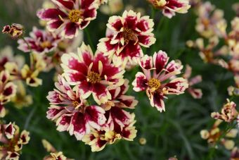 Le coréopsis Hardy Jewel™ Ruby Frost
