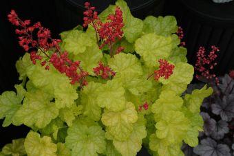 Un beau feuillage vert lime qui contraste bien avec les fleurs rouge rubis