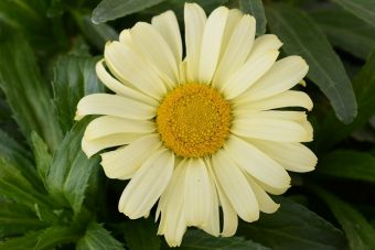 la grande marguerite 'Real Sunbeam'