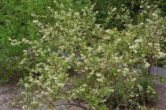 Le bleuet à corymbes 'Patriot' en fleurs (Vaccinium corymbosum 'Patriot').