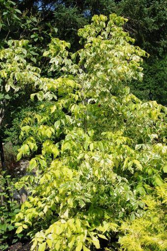 Acer negundo 'Aureovariegatum' (Syn. Acer negundo f. aureovariegatum, Acer negundo) dans mon jardin.