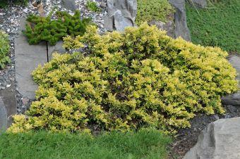 Juniperus horizontalis 'Mother Lode' dans mon jardin.
