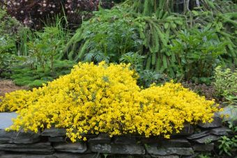 Genista januensis subsp. lydia Bangle® 'Select' dans mon jardin.