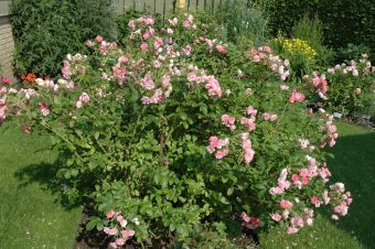 Rosa rugosa 'Pink Grootendorst'