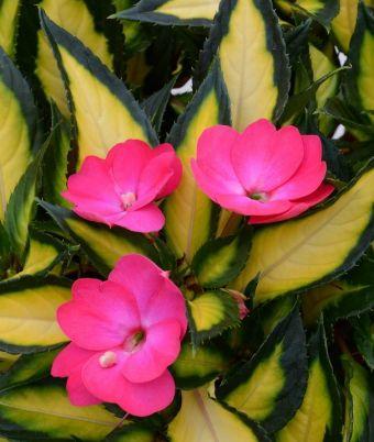 Impatiens SunPatiens® Compact Tropical Rose 'SAKIMP037'